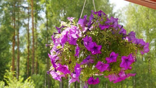Petúnie zahradní - Petunia