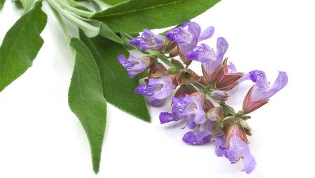 Šalvěj lékařská - Salvia officinalis