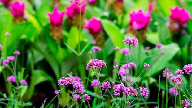Sporýš lékařský - Verbena officinalis
